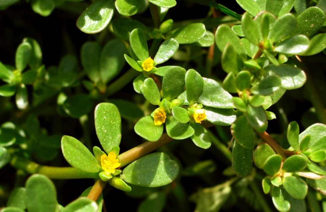 Purslane: A Nutritional Herb | Herbal Academy | Purslane is an excellent nutritional herb for food recipes, garden soil, and as an herbal medicine.