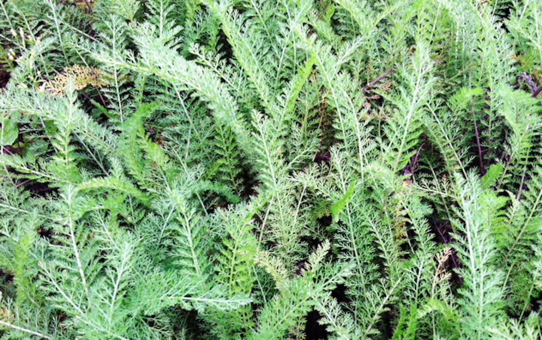 Yarrow: The Plant That Made Achilles Invincible | Herbal Academy | Learn more about the folklore of yarrow and Achilles as well as some practical uses for this herb in this post.