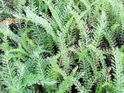 Yarrow: The Plant That Made Achilles Invincible   Herbal Academy   Learn more about the folklore of yarrow and Achilles as well as some practical uses for this herb in this post.