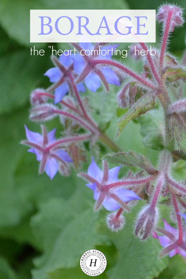 """Borage - The """"Heart Comforting"""" Herb 