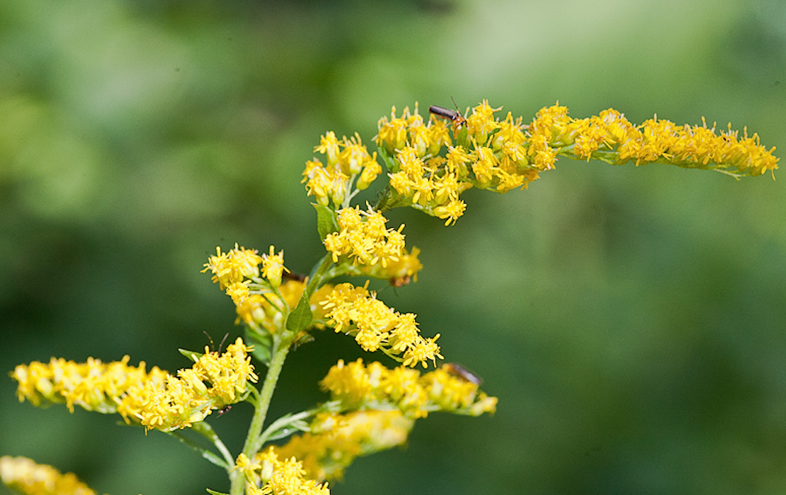 Goldenrod for allergy season