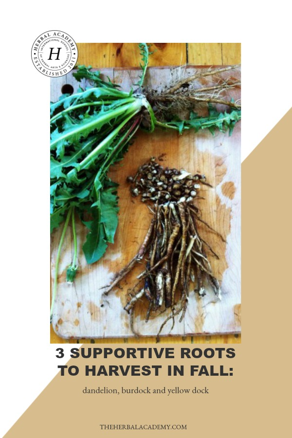 3 Supportive Roots to Harvest in Fall: Dandelion, Burdock and Yellow Dock | Herbal Academy | Common medicinal roots, such as dandelion, yellow dock and burdock, have well-established uses so it's worth getting to know how to harvest and use them.
