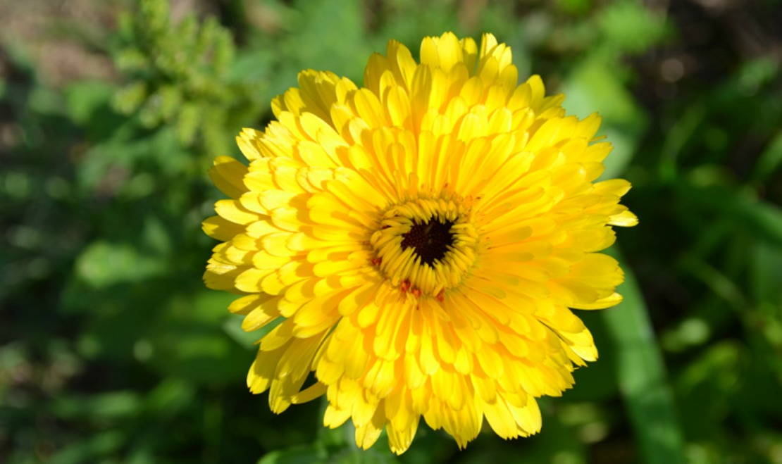 Calendula Uses: Our 14 Favorite Recipes and Remedies - Herbal Academy