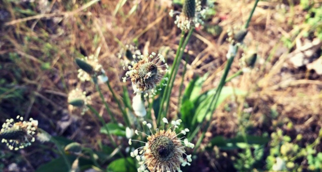 10 Tips for Wildcrafting Medicinal Herbs | Herbal Academy | Wildcrafting medicinal herbs is a very rewarding practice for herbalists. Learn how to identify plants and make your herbal remedies with foraged herbs!