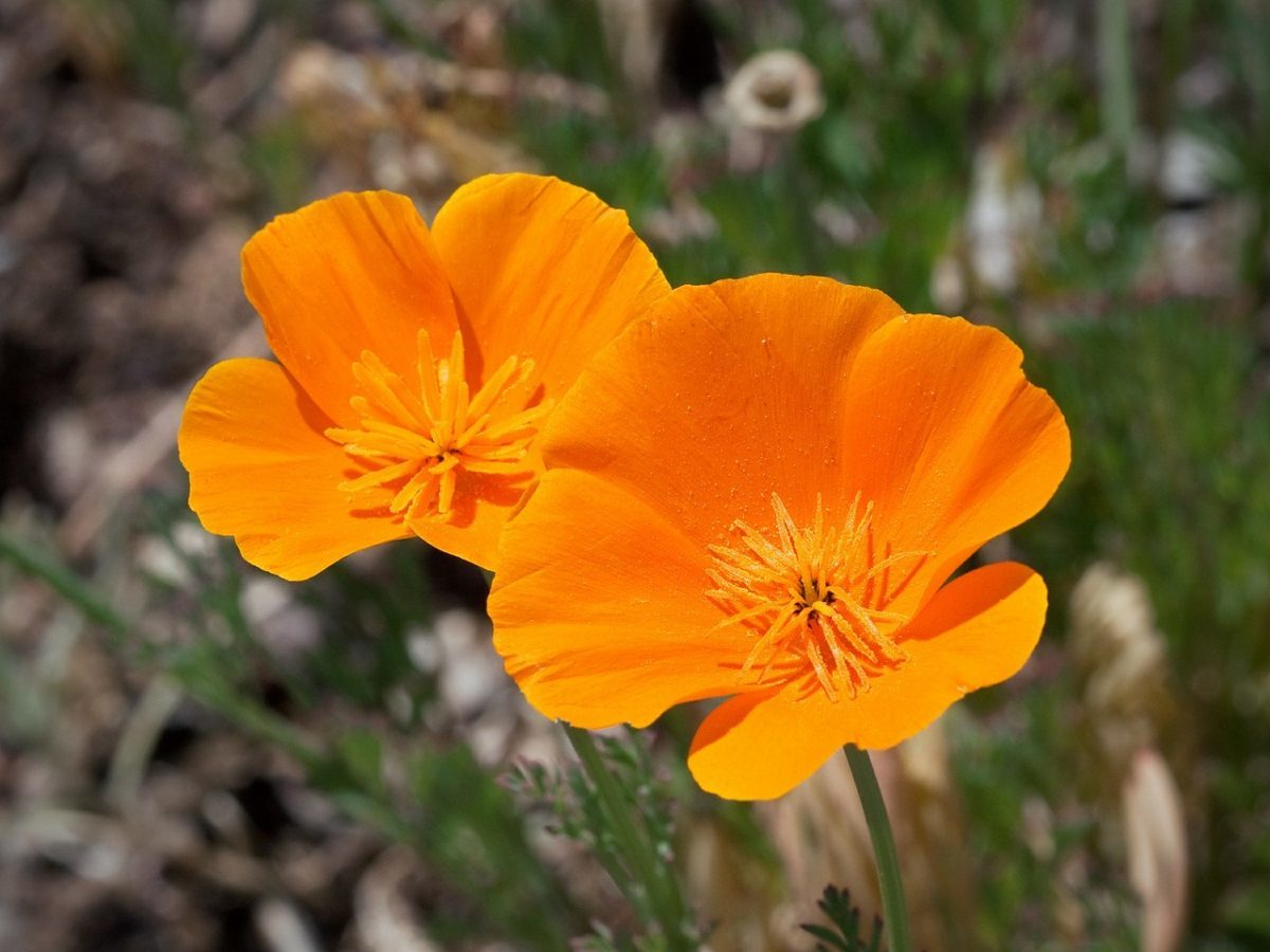 california poppy flowers can help support greater work-life balance and relaxation