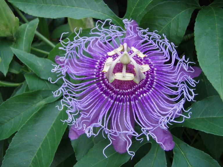 fresh passionflower