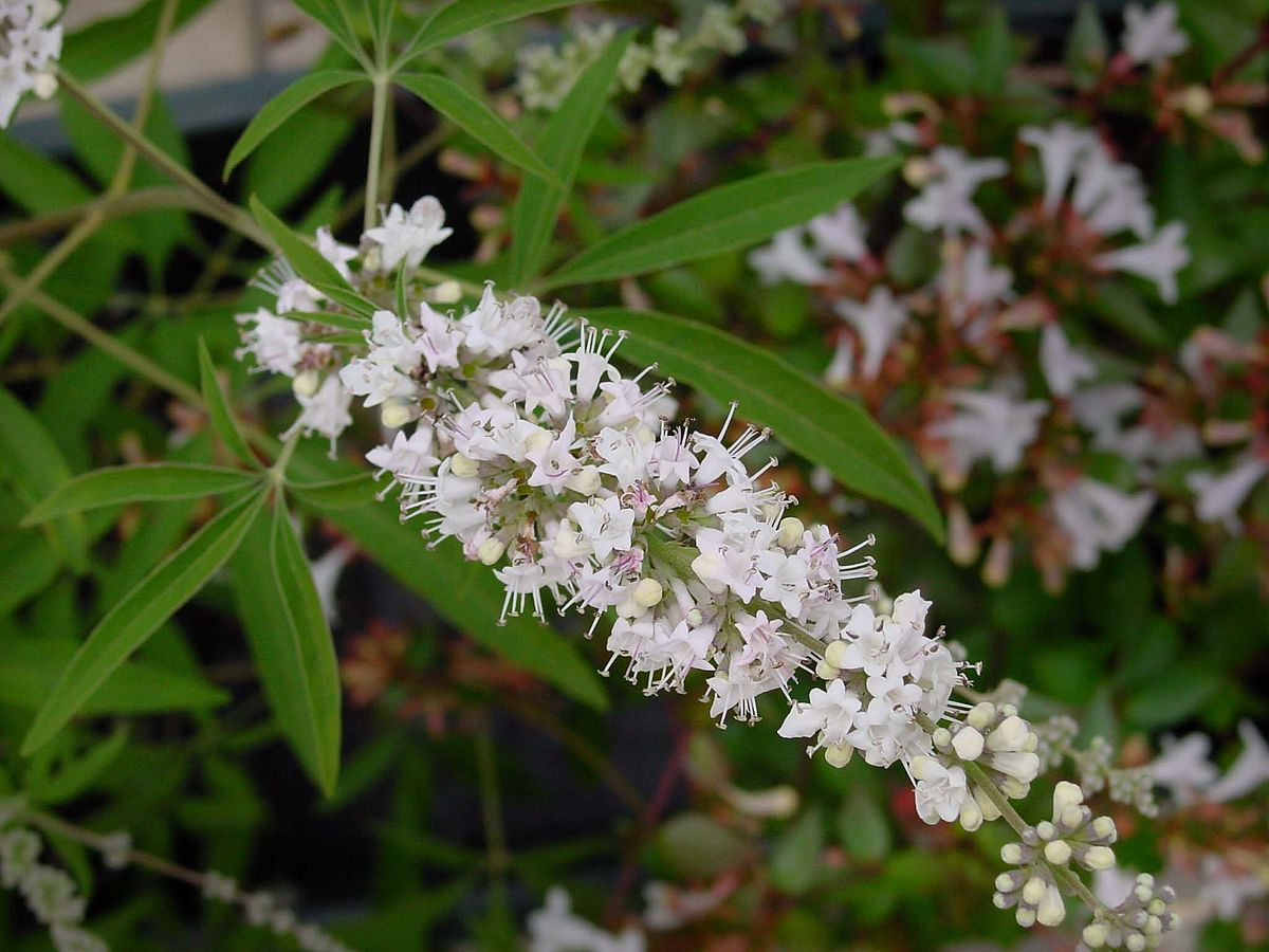 Vitex or chaste tree berry flower