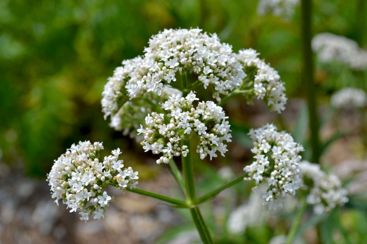 12 Traditional Pain Relieving Herbs | Herbal Academy | Curious about using herbs to bring comfort during injury? Here are twelve traditional pain relieving herbs and how herbalists approached their use.
