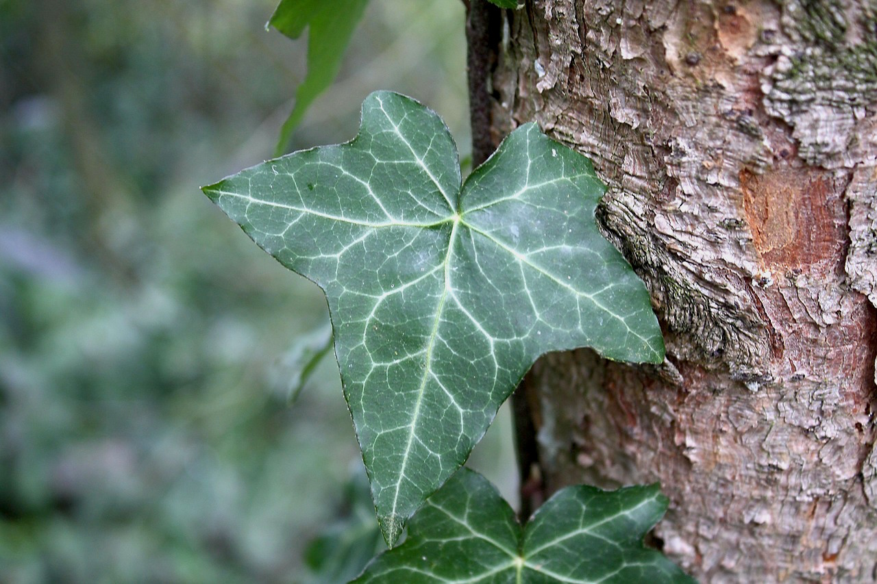 The History and Uses of Common Ivy