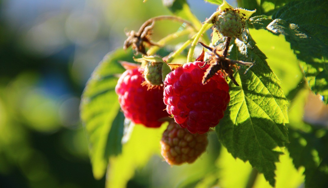Raspberry Leaf Benefits For Women | The Herbal Academy Blog | Find out the many health benefits raspberry leaf offers for women!
