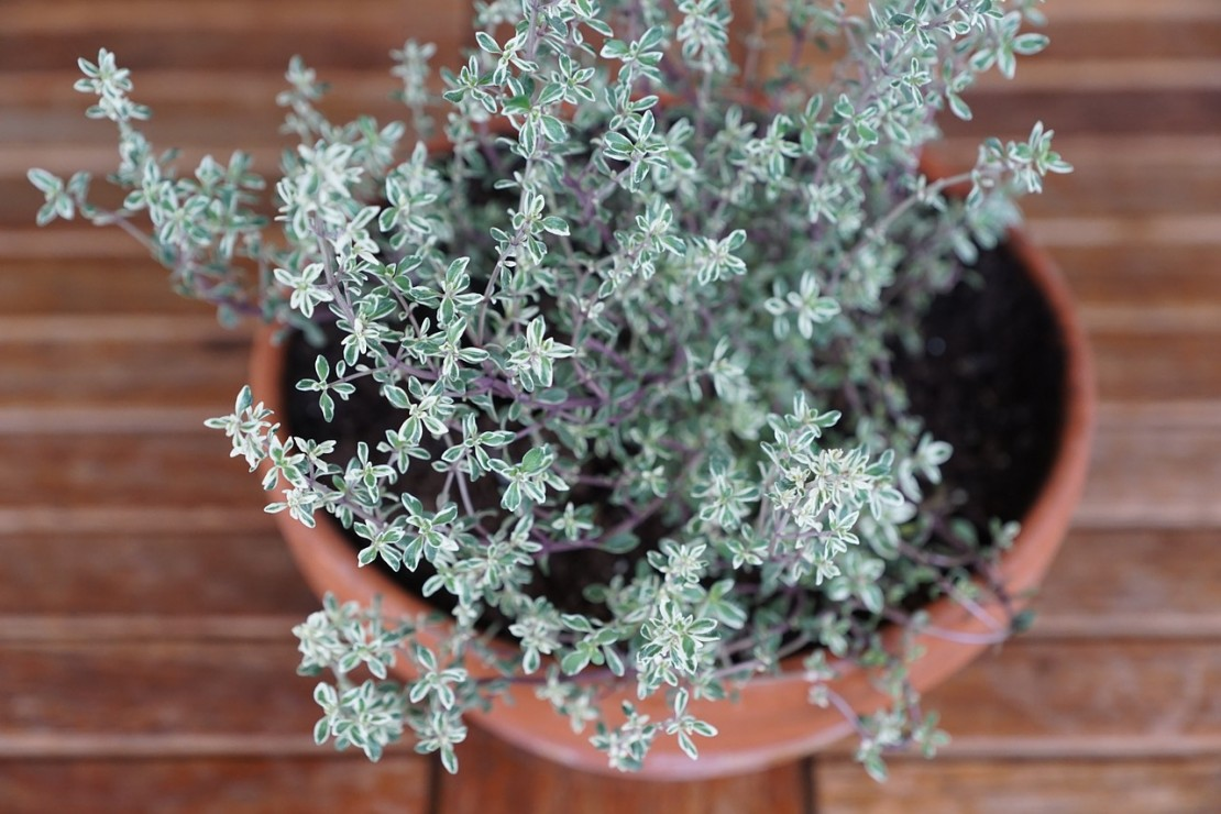 Thyme is an Herb for Winter Health | Herbal Academy Blog | Learn all about the many uses of the herb thyme!