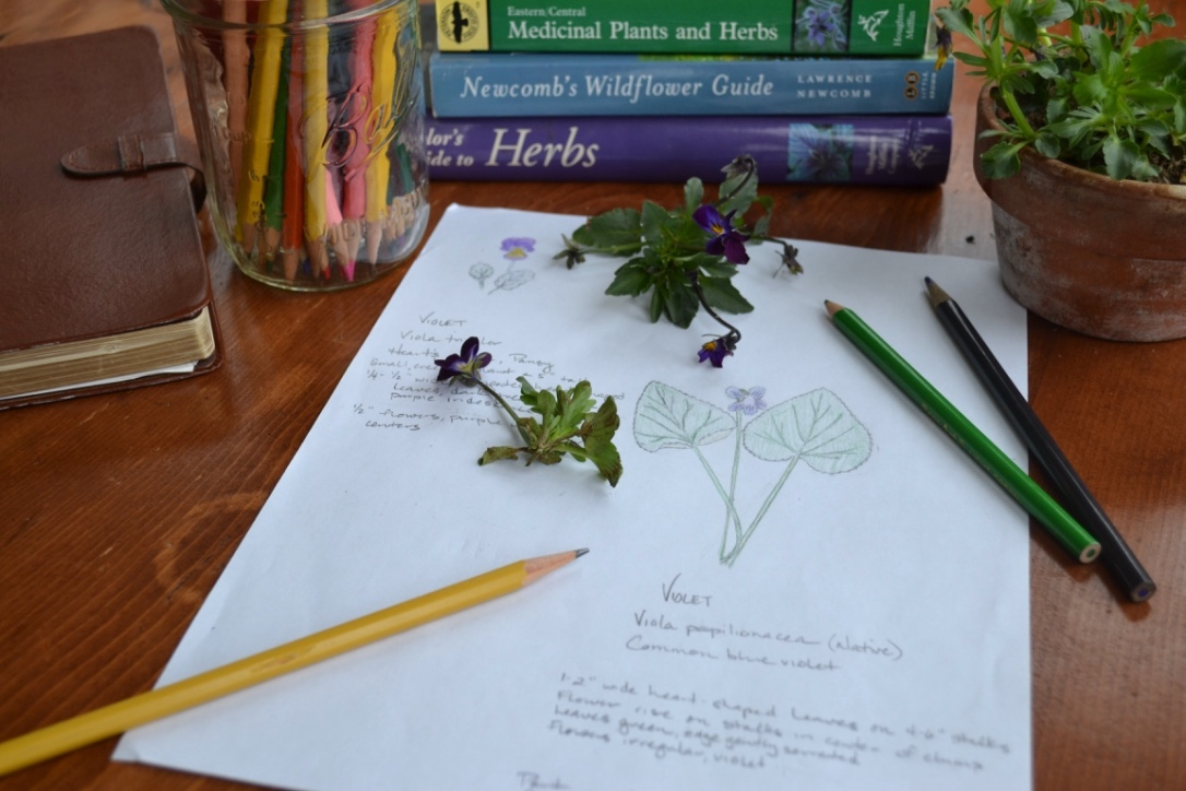 Creating a Local Materia Medica with Violet | Herbal Academy | Learn to study the valuable plants in your own backyard! Start by creating a local materia medica with violet.