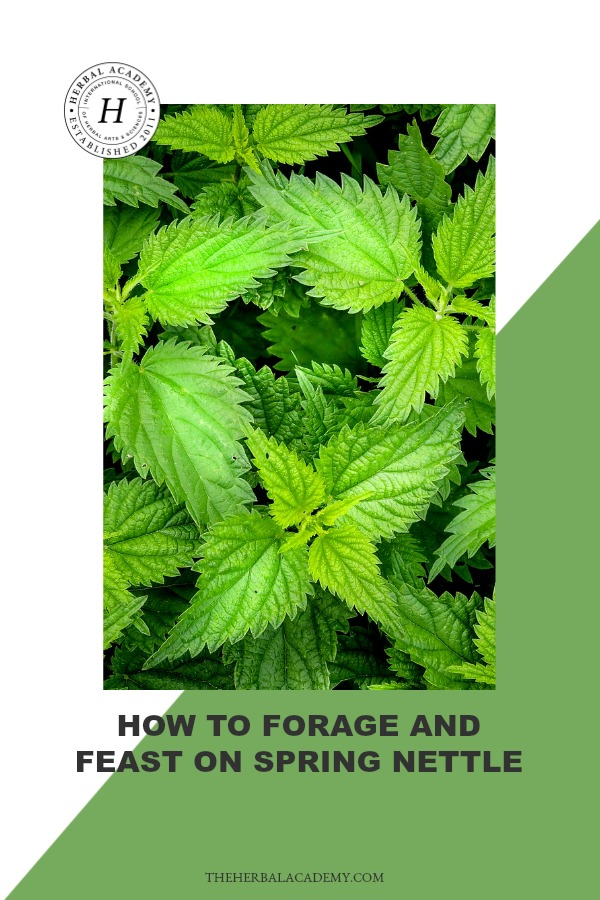How To Forage and Feast On Spring Nettle | Herbal Academy | Nettle is a popular spring green with a rich vitamin and mineral content. Learn how to forage and feast on spring nettle this year!
