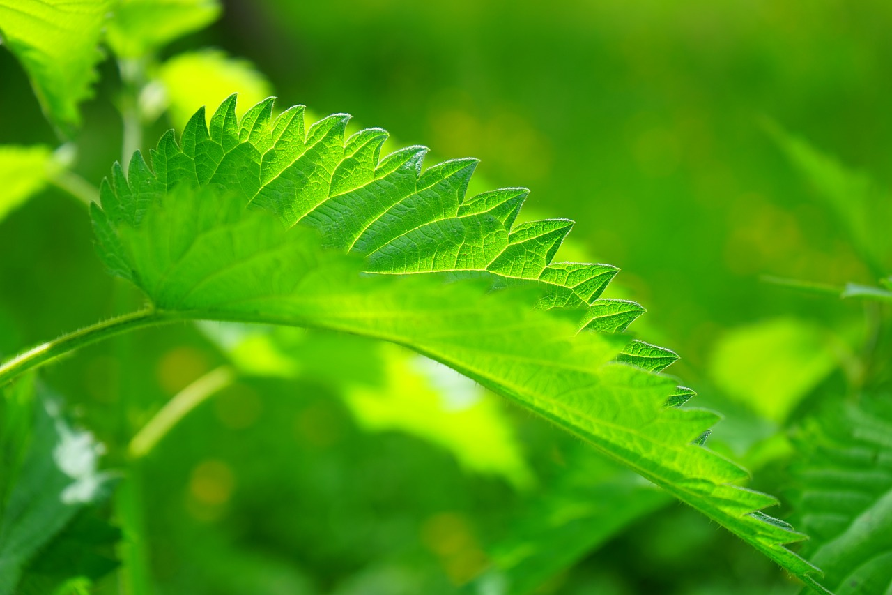 How To Forage and Feast On Spring Nettle | Herbal Academy | Nettle is one popular spring green that can be foraged and enjoyed as a nutrient rich food.