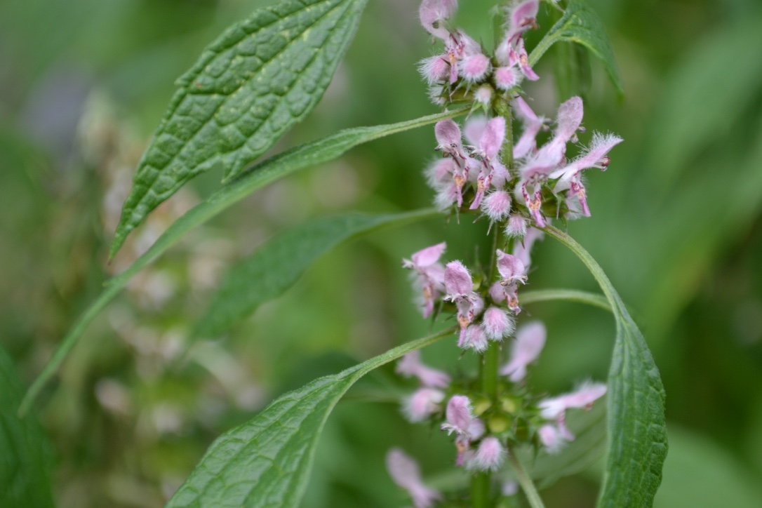Creating a Local Materia Medica With Motherwort | Herbal Academy | Motherwort is a large, tough plant, but has the ability to soothe and balance the body. Learn the many uses of this plant for your local materia medica!