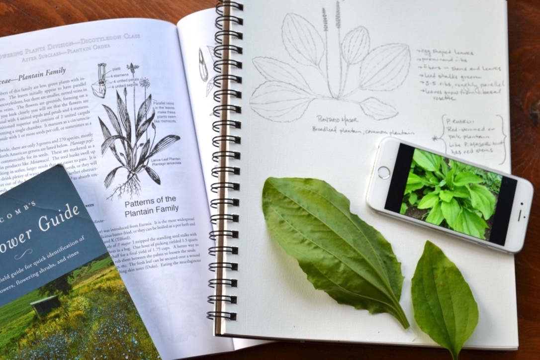 Create A Local Materia Medica With Plantain | Herbal Academy |Plantain, with its edible and medicinal uses and widespread availability, is a fantastic addition to your local materia medica list.