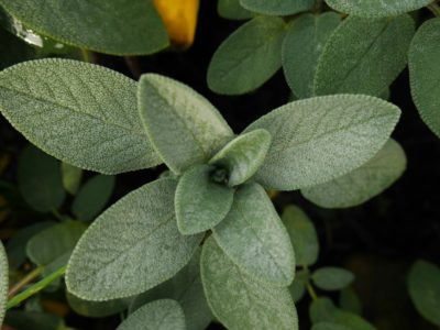 Sage Throughout the Ages   Herbal Academy   Come learn about sage throughout the ages including how modern day herbalists and herbalists of the past used it for health and healing.