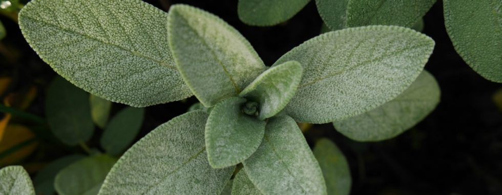 Sage Throughout the Ages | Herbal Academy | Come learn about sage throughout the ages including how modern day herbalists and herbalists of the past used it for health and healing.