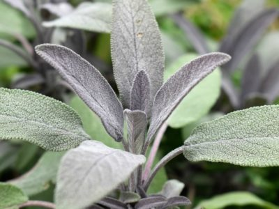 3 Last-Minute Ways To Use Sage Before The Growing Season Ends   Herbal Academy   If you're looking for ways to use your fresh sage before cold weather comes and the harvest period passes, here are 3 last-minute ways to use sage.