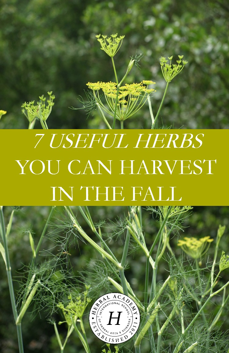 7 Useful Herbs You Can Harvest In The Fall | Herbal Academy | It's autumn, and the time for harvesting fall herbs! Check out these 7 herbs you can harvest in the fall and learn how to use them for your health!