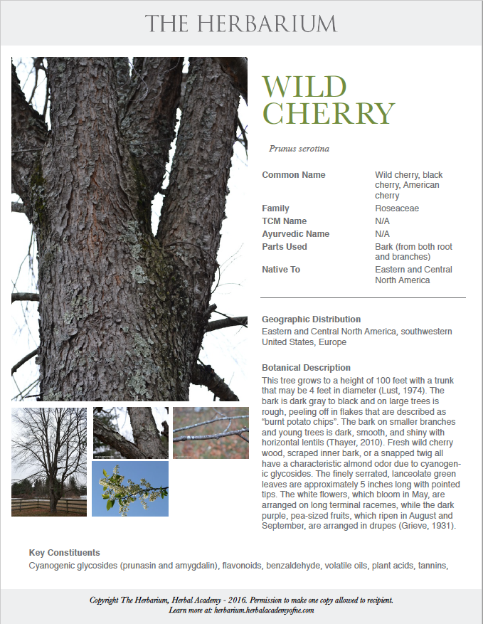All About Wild Cherry Bark (Printable Monograph) | Herbal Academy | Come learn all about wild cherry bark and get your free printable herbal monograph for your herbal materia medica!