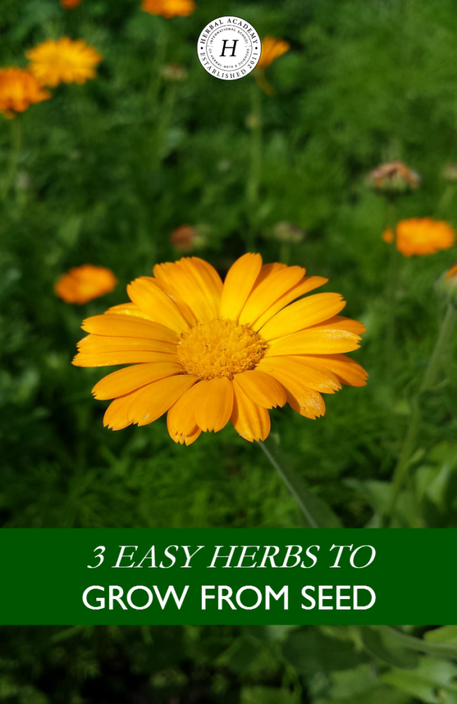 3 Easy Herbs To Grow From Seed | Herbal Academy | Are you feeling anxious to start your spring garden? We are sharing 3 easy herbs to grow from seed right now!