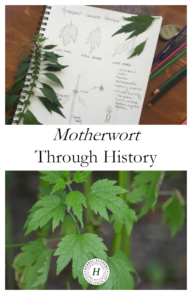 Motherwort Through History   Herbal Academy   Here at the Academy, we often talk about the history and traditions of herbs. In this post we are focusing on the history of motherwort. Come learn with us!