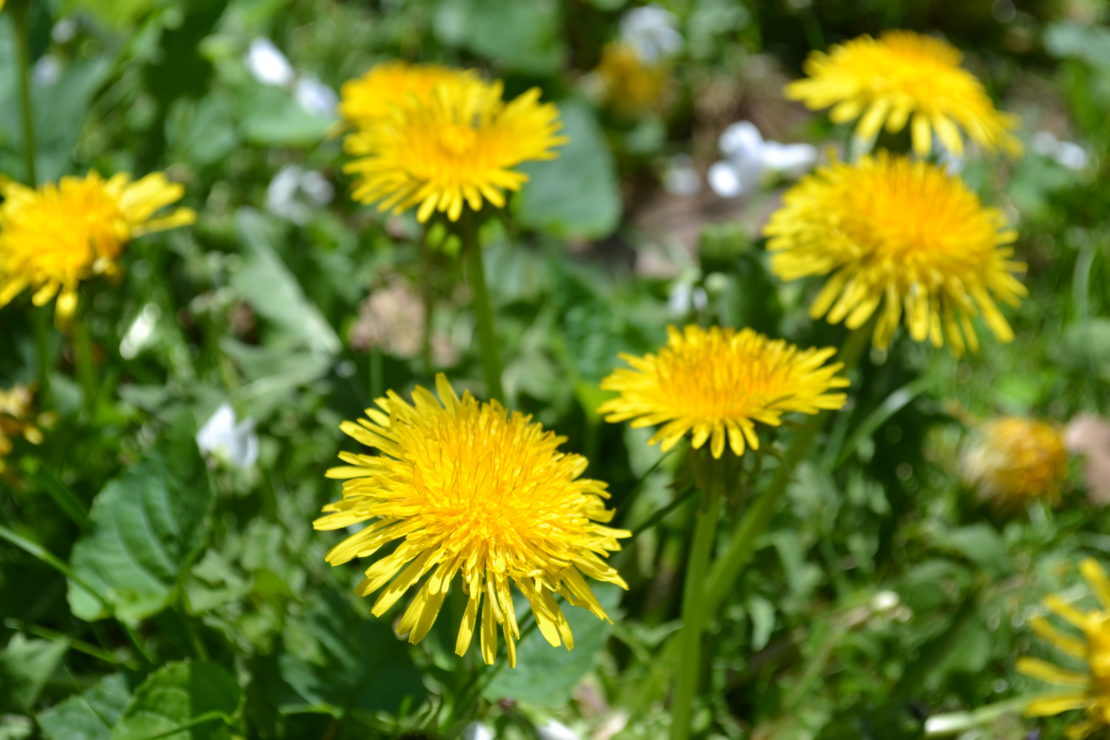 All About Dandelion (For Your Materia Medica) | Herbal Academy | Come and learn all about dandelion and its many uses for your materia medica!