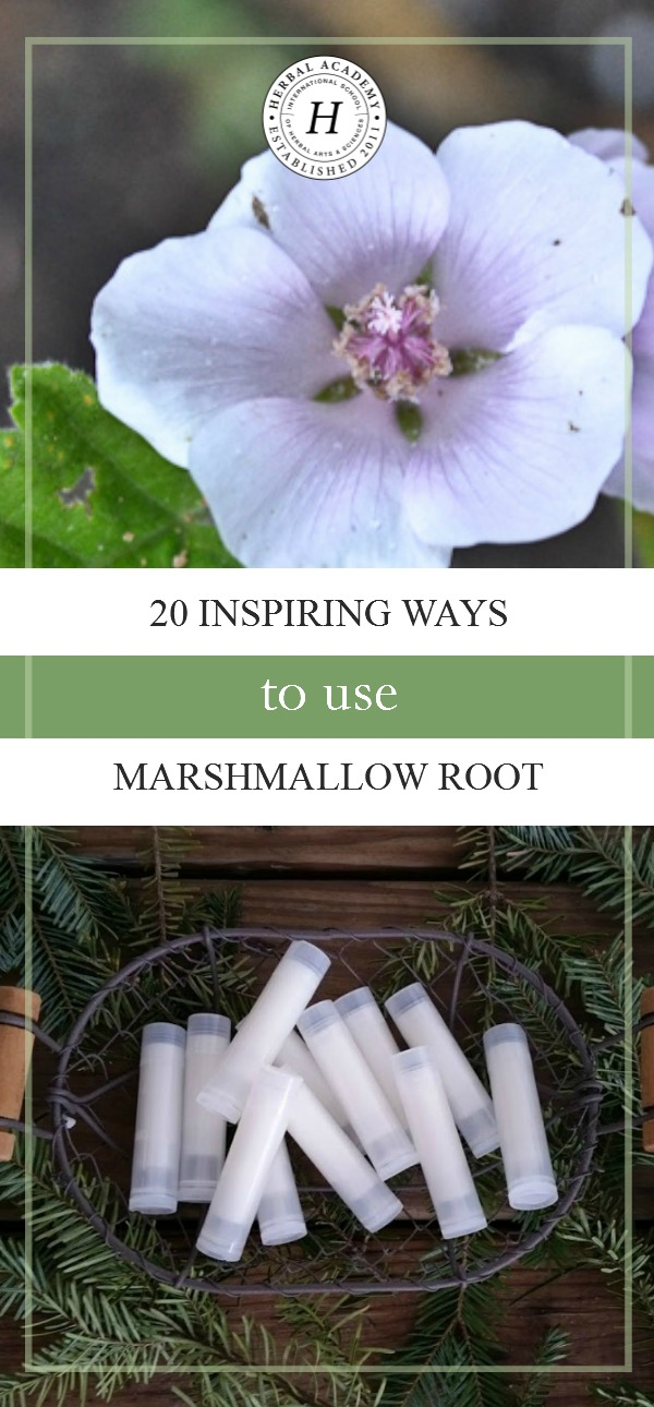 20 Inspiring Ways To Use Marshmallow Root | Herbal Academy | Marshmallow is a versatile root that can be used in teas, tinctures, and hair balms as well as to create delicious marshmallow treats. Here are 20 ways to use marshmallow root!