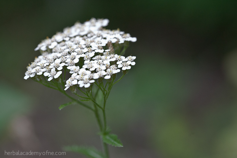 9 Summer Herbs To Forage This Year | Herbal Academy | Looking for summer herbs to forage for? Here are 9 herbs to find and harvest during the warm summer months.