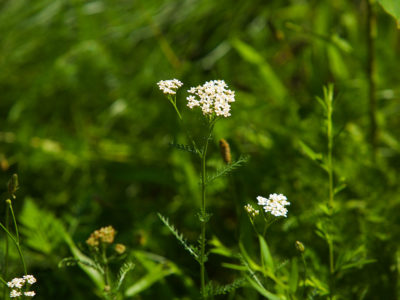 Adding Yarrow To Your Materia Medica   Herbal Academy   Would you like to add yarrow to your materia medica? Here's how to correctly identify and safely use this beneficial herb!