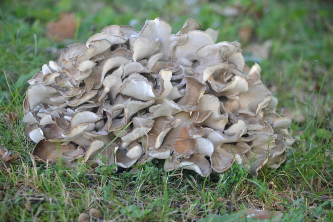 Maitake 101: A Valuable Mushroom | Herbal Academy | Maitake mushrooms are high in nutrients and are great for the immune system! Here's a delicious recipe as well as other ways to use this healthy food.