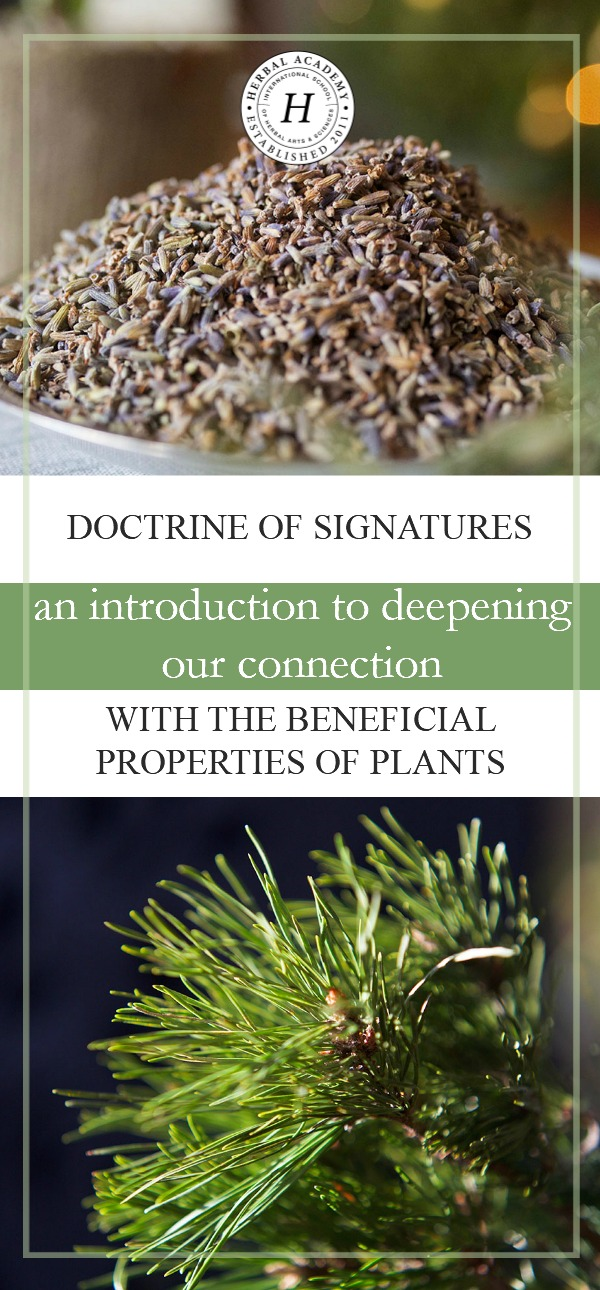 Doctrine of Signatures: An Introduction to Deepening Our Connection With The Beneficial Properties of Plants | Herbal Academy | By learning about the doctrine of signatures in nature, we can gain insight into the properties of plants, and into the more intuitive side of herbs.