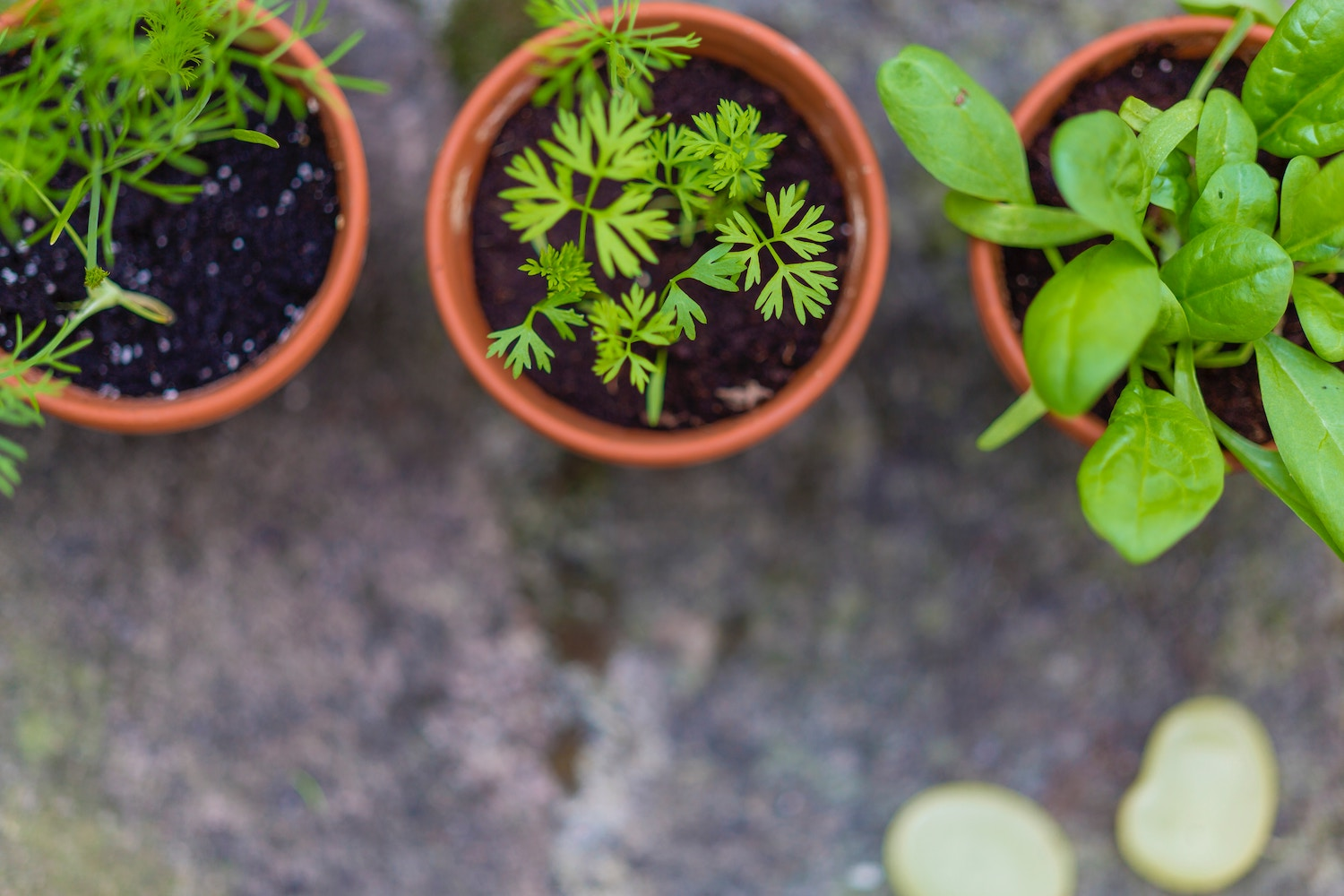How To Grow Culinary Herbs Indoors During The Winter   Herbal Academy   Would you like a way to grow herbs that you can enjoy all winter long? Here's a step-by-step guide to help you grow culinary herbs indoors!