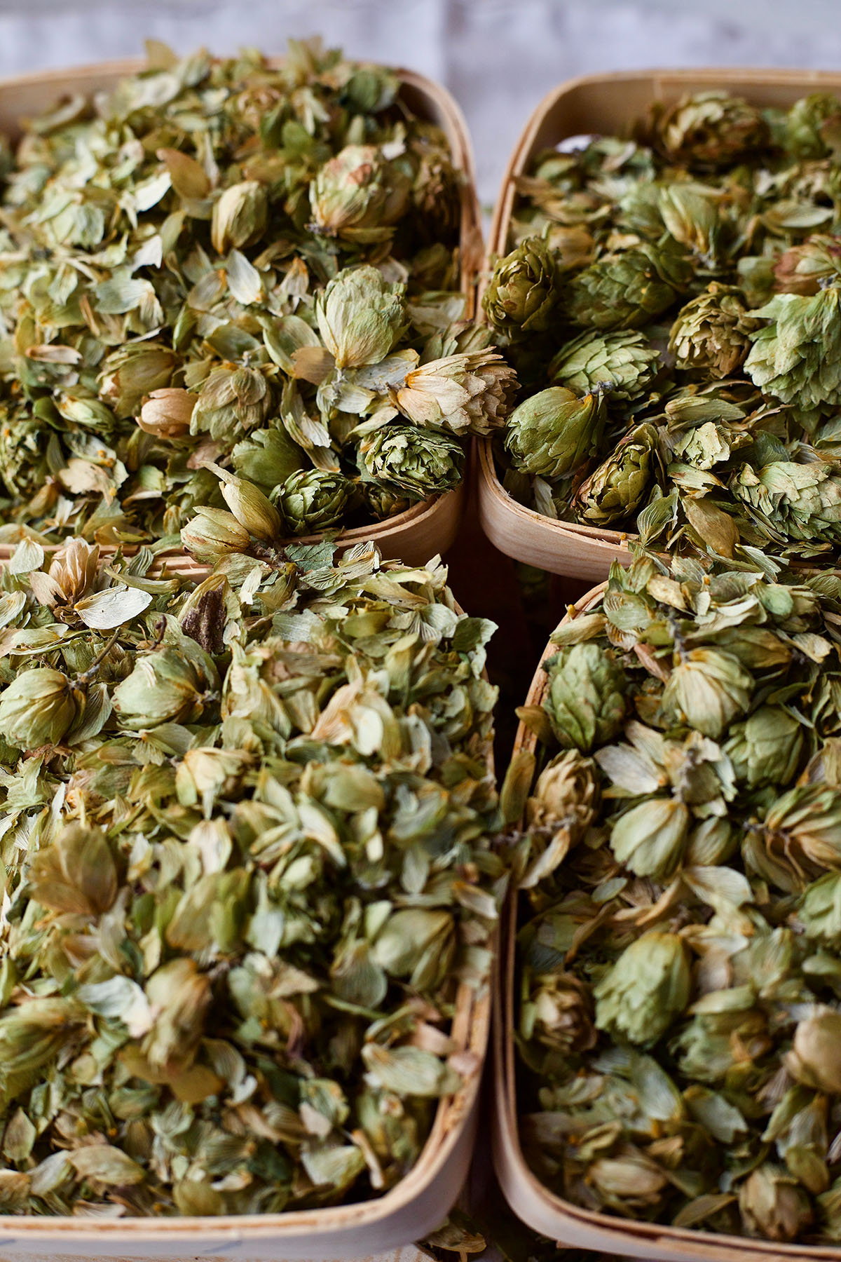 The Lure and Lore of HOPS: The 2018 Herb of the Year | Herbal Academy | In this post you'll find information about cultivating and harvesting hops as well as some interesting lure and lore about this year's Herb of the Year.