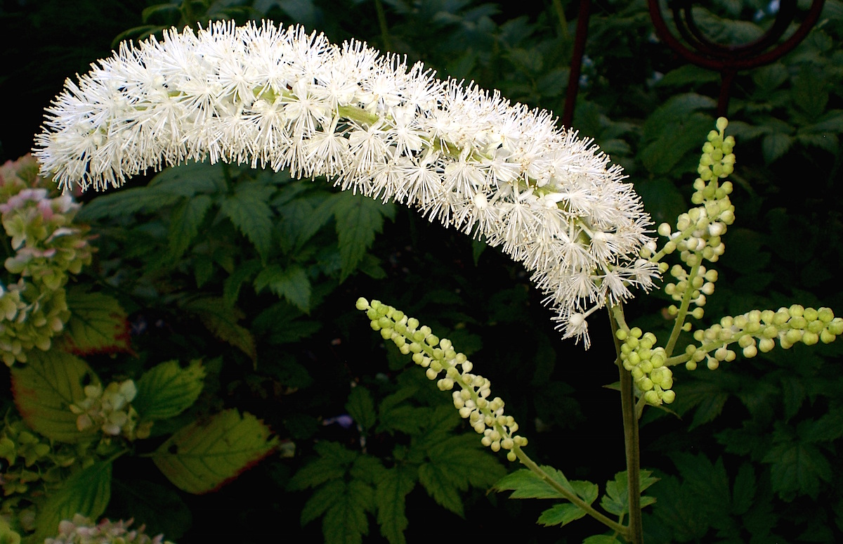 Black cohosh flower growing in the wild