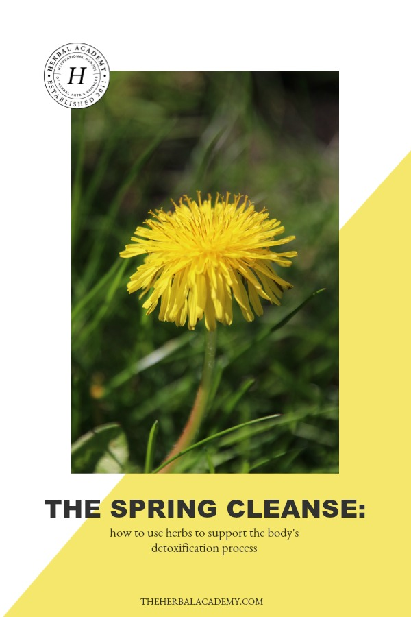The Spring Cleanse: How To Use Herbs to Support The Body's Detoxification Process | Herbal Academy | With spring being a season of growth and rebirth, we're sharing how you can use supportive herbs for cleansing this spring for a healthier you!