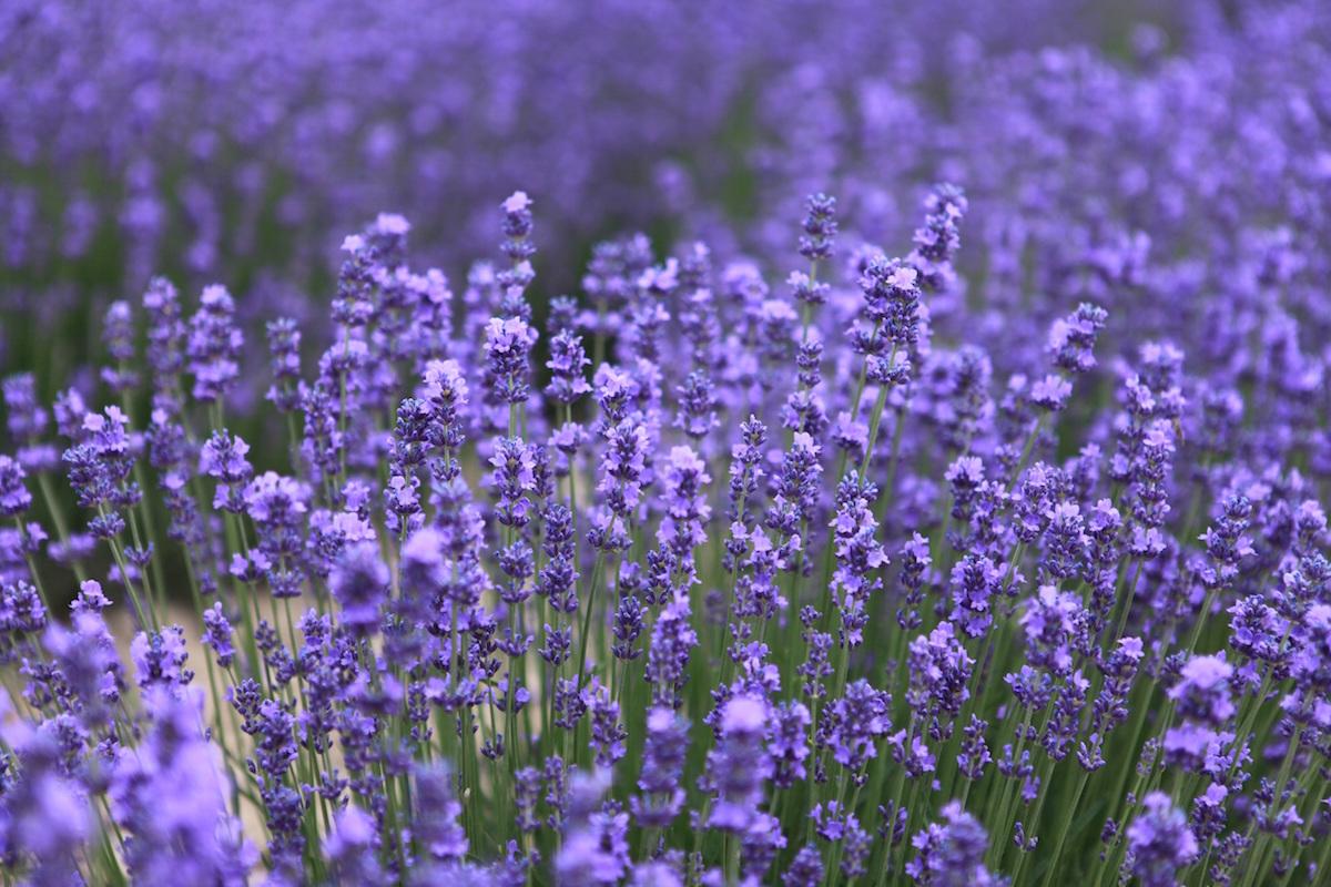 Lavender growing in a field