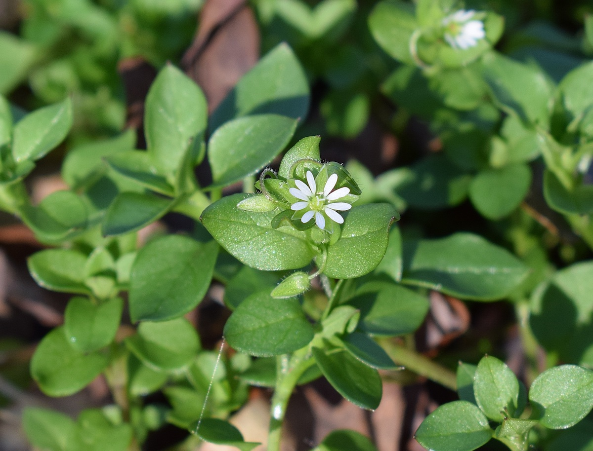 chickweed growing outside