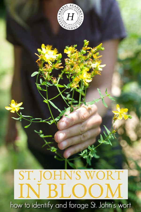 St. John's Wort in Bloom: How To Identify And Forage St. John's Wort | Herbal Academy | Summer is the blooming season for the well-beloved herb, St. John's wort. Learn how to identify and forage St. John's wort in this helpful post!