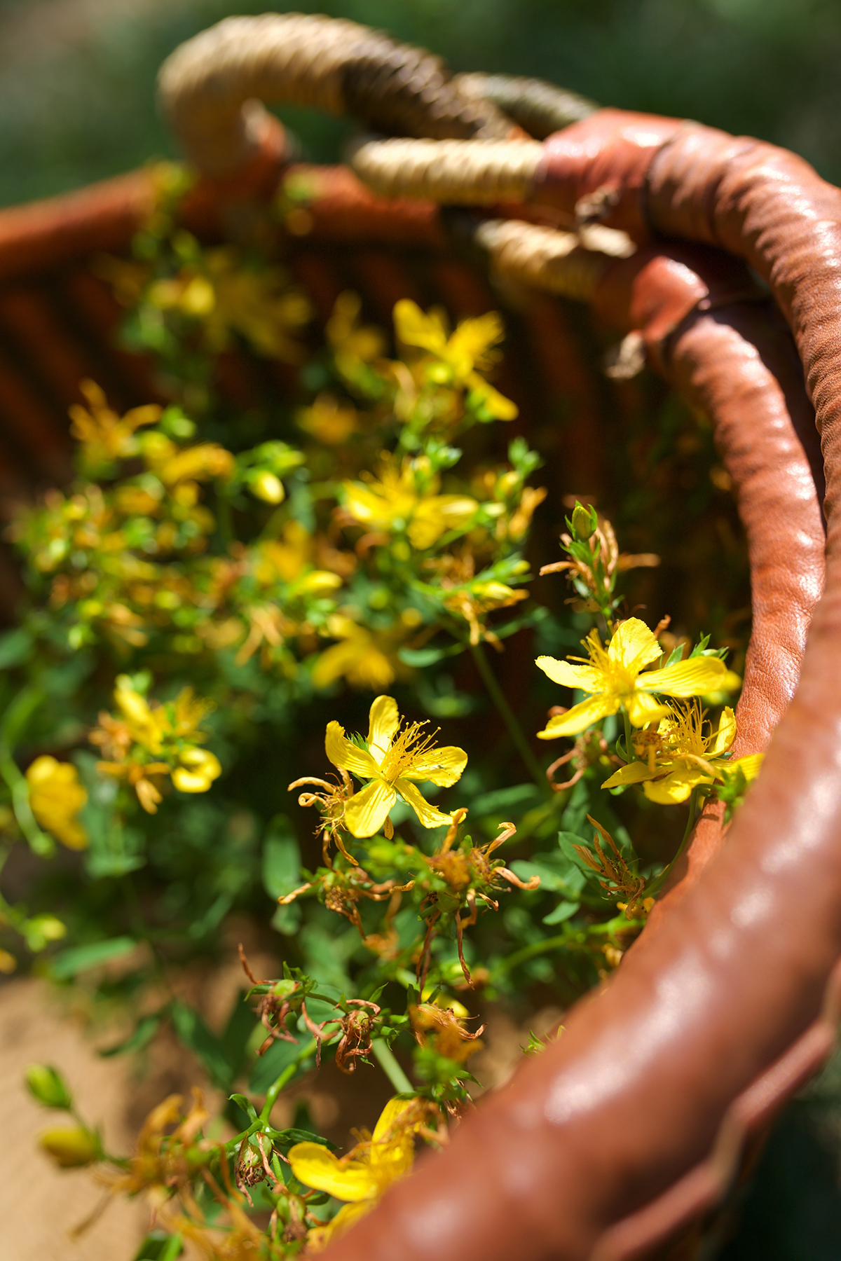 Two Basic St. John's Wort Preparations To Keep In Stock | Herbal Academy | While there are many applications for use with St. John's wort, here are two of our favorite basic St. John's wort preparations to keep on hand.