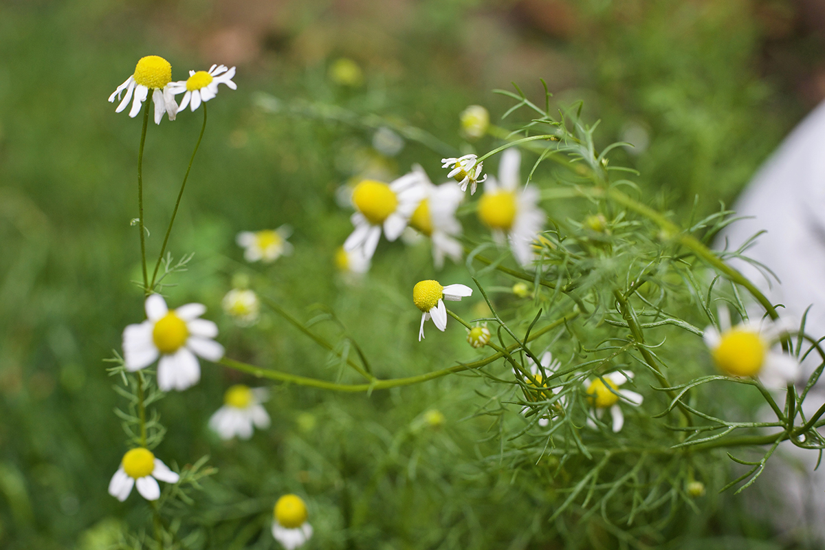chamomile flowers in the wild