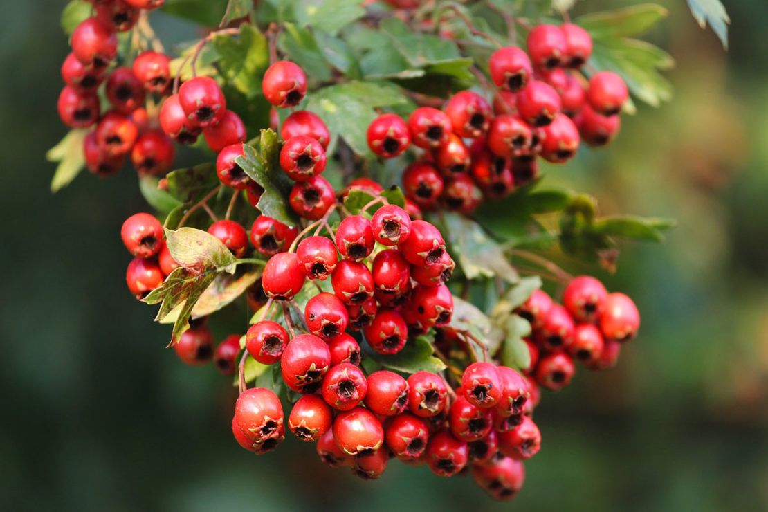 The History, Mythology, and Offerings of Hawthorn | Herbal Academy | Come hear of the myths, benefits, and offerings of hawthorn, and get two easy hawthorn recipes to use throughout the fall season as well.