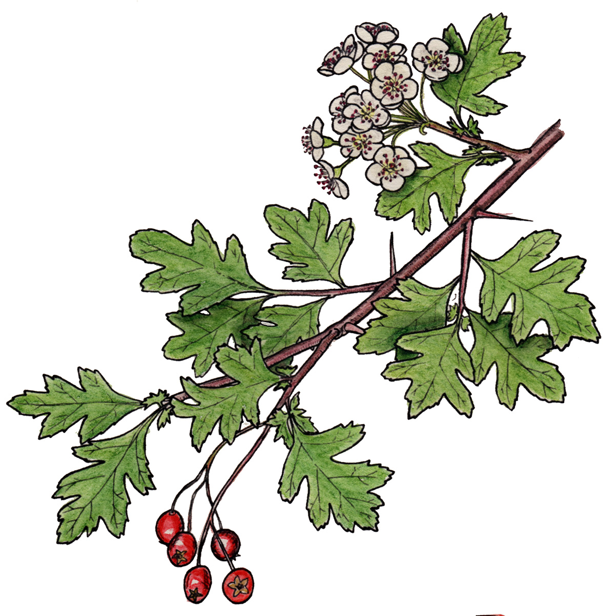 The History, Mythology, and Offerings of Hawthorn   Herbal Academy   Come hear of the myths, benefits, and offerings of hawthorn, and get two easy hawthorn recipes to use throughout the fall season as well.