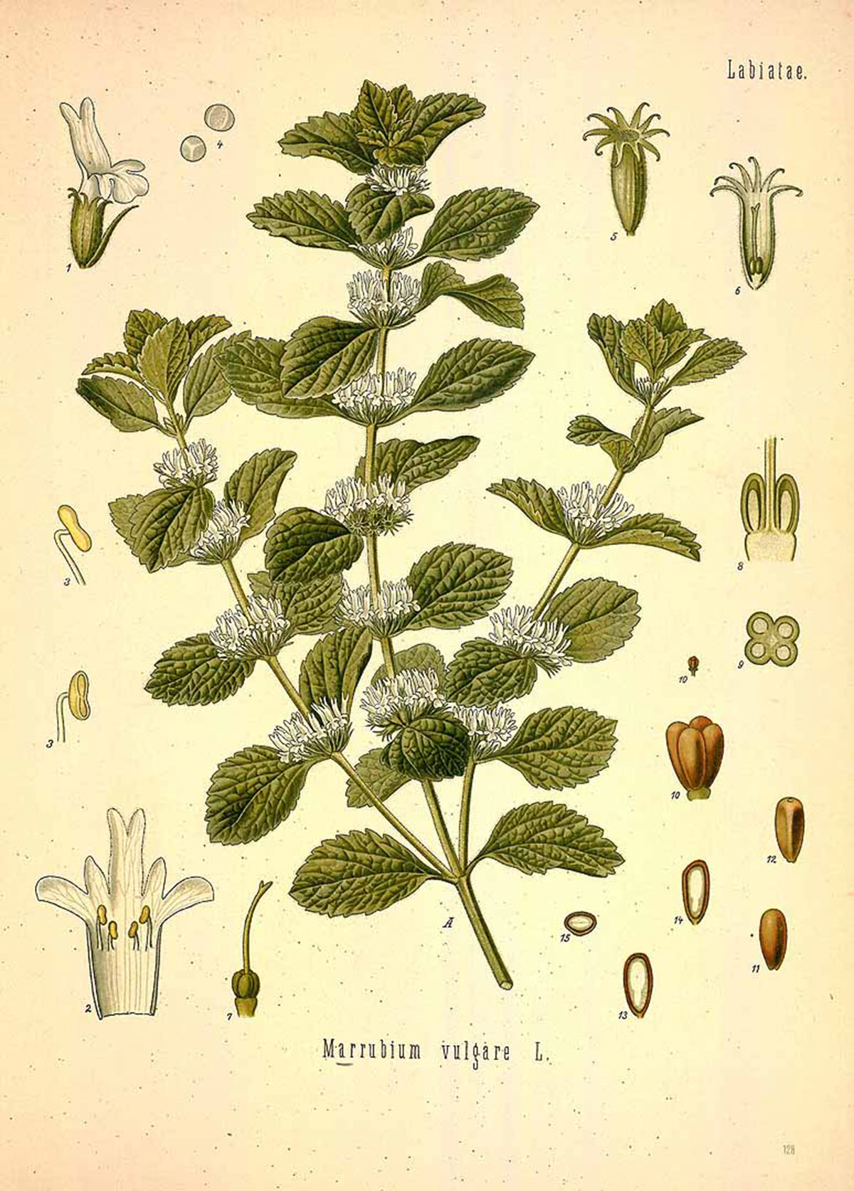 Reviving Horehound: 6 Ways You Can Use This Traditional Herb | Herbal Academy | Horehound is an herb that carries many useful properties but has fallen off the map in recent times. Learn six ways you can use this traditional herb today.