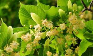 Linden flowers growing on tree