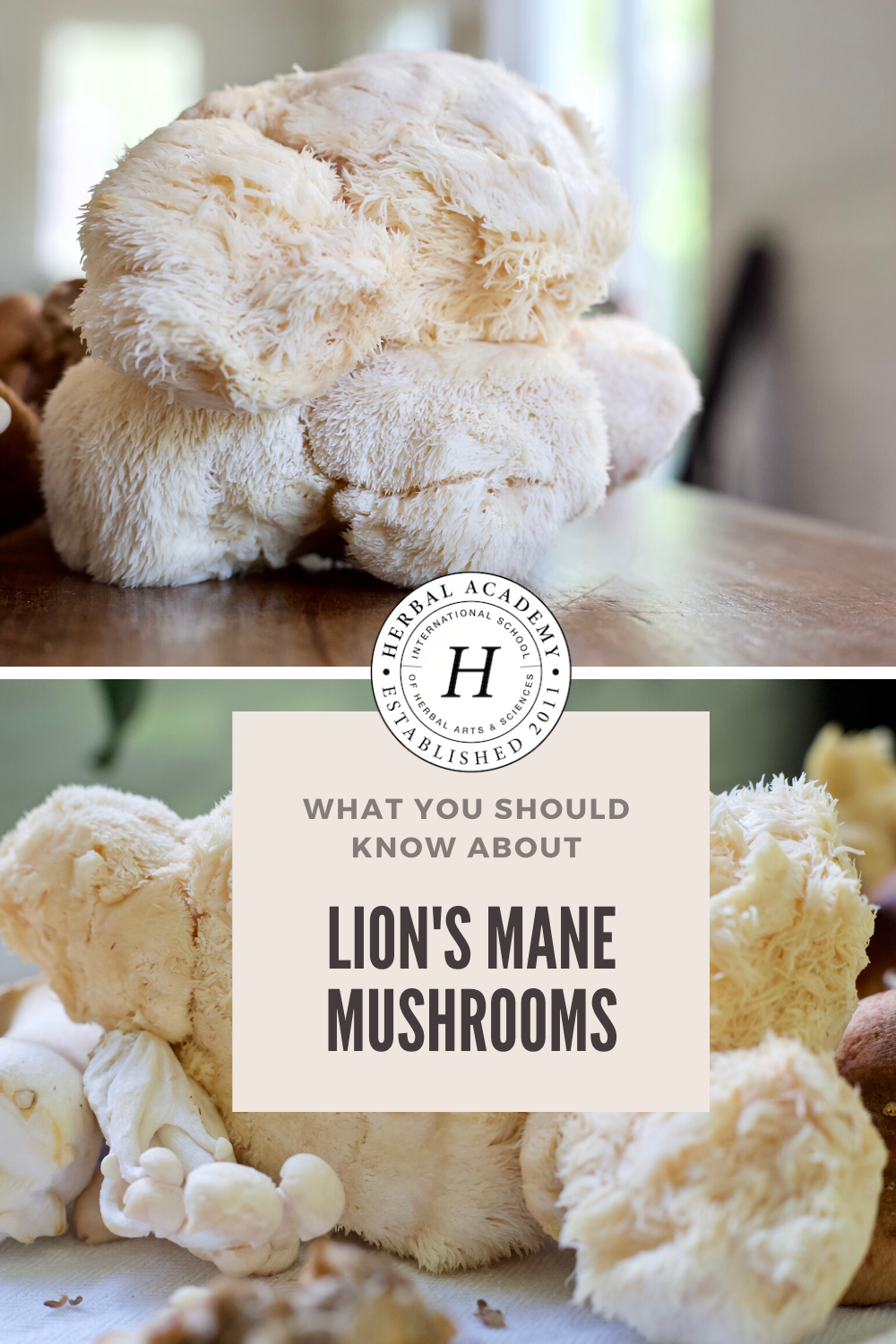 Lion's Mane Mushroom: What You Should Know | Herbal Academy | Lion's mane (Hericium erinaceus) mushroom is most recognized for its important work in supporting brain function, memory, and mood.