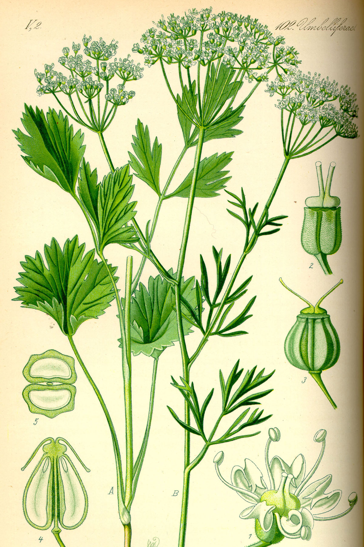 An illustration of anise