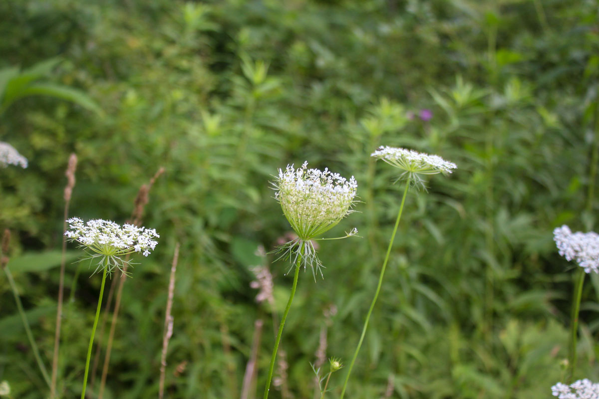 Queen Anne's Lace flowers take the shape of a bird's nest when they begin to seed.