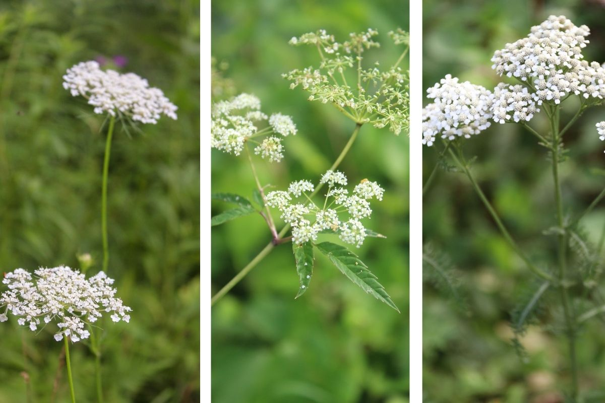 Queen Anne's Lace, Hemlock, and Yarrow displayed side-by-side so the reader can see the similarities